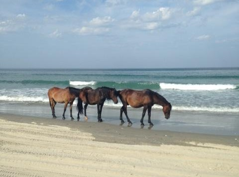 Gracie Danciu, junior, said she enjoyed seeing wild ponies that wandered freely on the beach she visited in North Carolina.