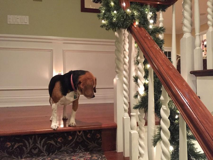 Kate Chuma, senior, captures a photo of her dog, Bailey, enjoying the Christmas spirit.